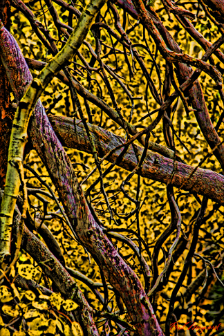 Branches of Aspen by Paul Maynard, Photo Art on Canvas